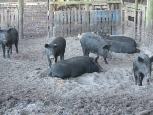 Trapped and Quarantined Hogs