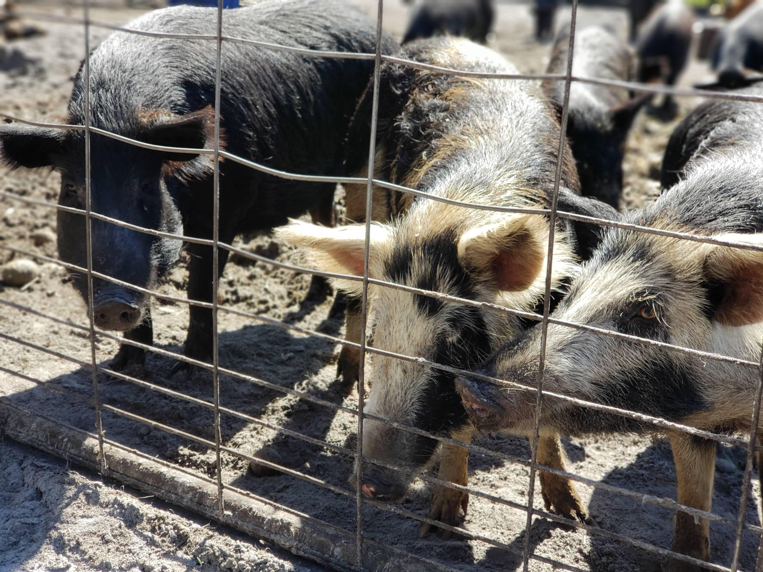 Happy Healthy Hogs