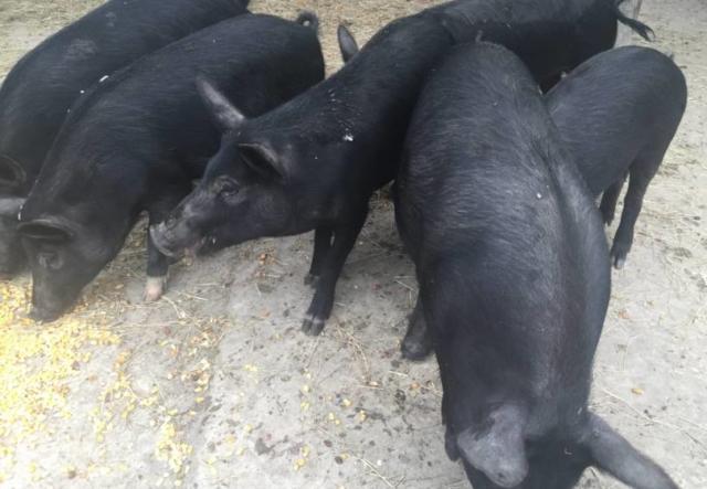 Shogun Farms Wild Boar