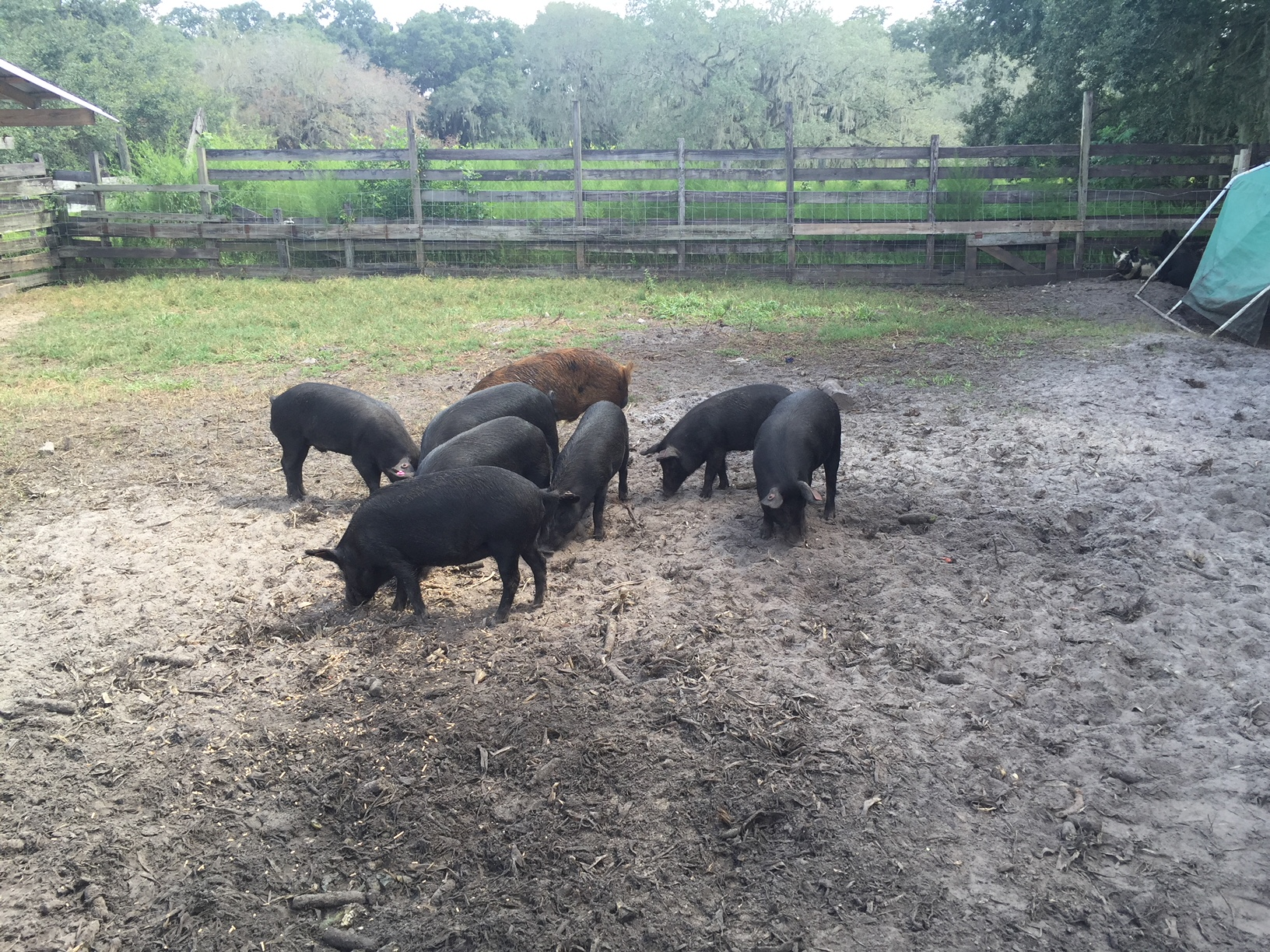 Shogun Farms Hogs