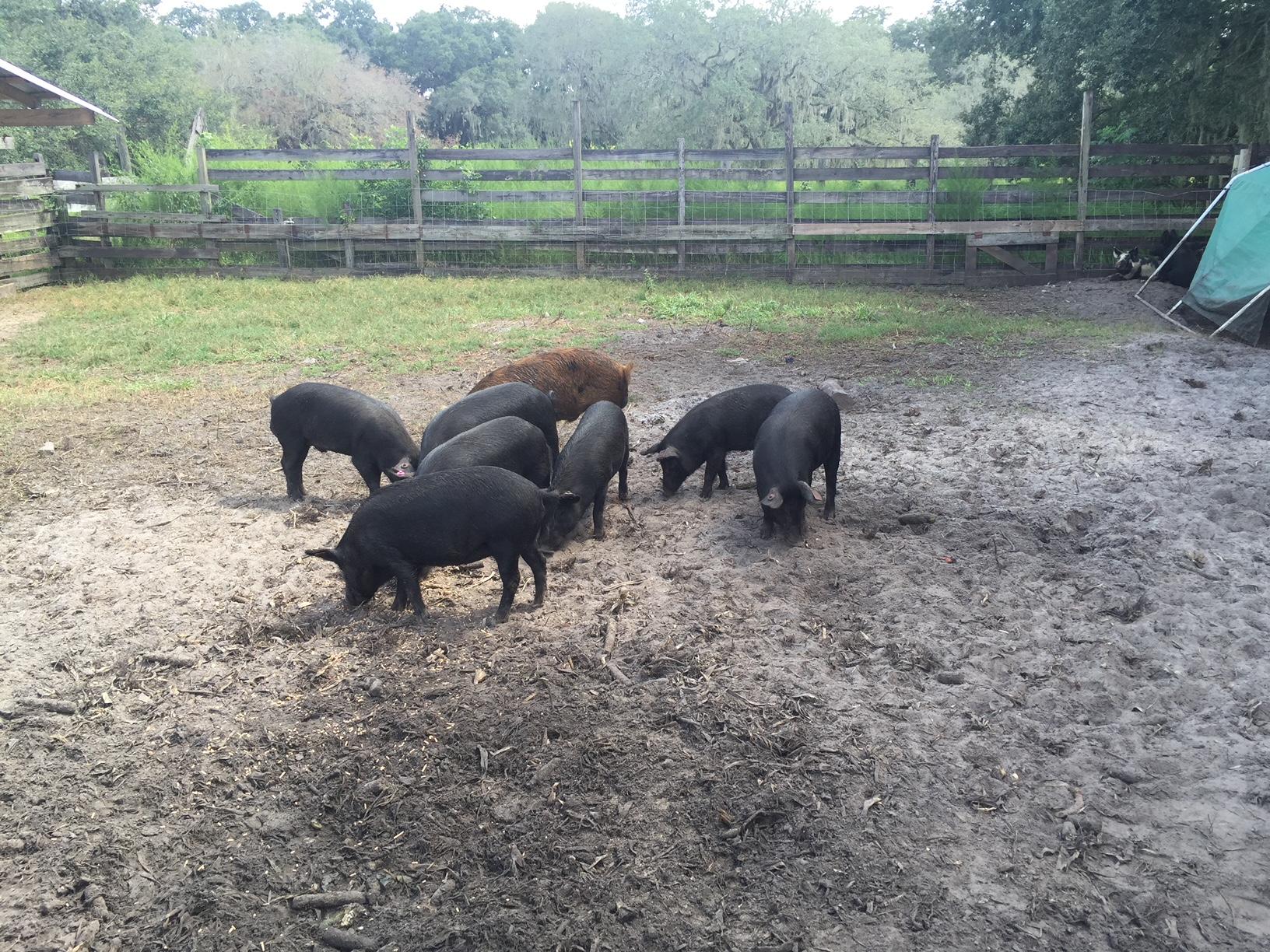 Shogun Farms Hogs