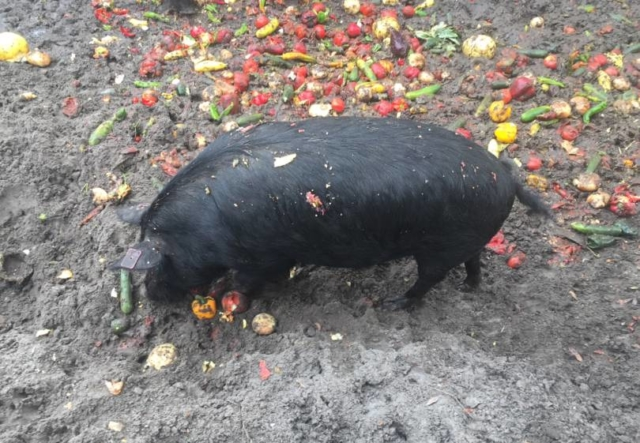Our hogs love fresh produce!